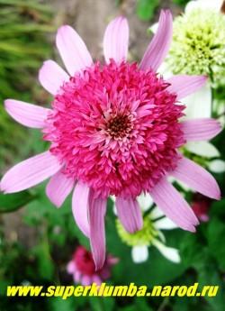 """Эхинацея """"ПИНК ДАБЛ ДЕЛАЙТ"""" (Echinacea """"Pink Double Delight"""") крупный насыщенно-розовый цветок с махровым центром и расположеной в горизонтальной плоскости юбочкой из язычковых цветов , высота 50-70см, цветет июль-сентябрь. ЦЕНА 350 руб (делёнка) НЕТ НА ВЕСНУ"""