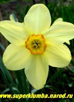 """Нарцисс """"БАРИИ КОНСПИКУУС""""  (Narcissus """"Barrii Conspicuus"""") один их лучших старинных сортов нарциссов, сорт датирован 1869, простой ранний, золотисто-желтые лепестки околоцветника с изящной небольшой коронкой с ярко-оранжевым кантом, крупный, до 8 см в диаметре, с сильным ароматом, неприхотливый, высота до 50 см, ЦЕНА120 руб (3 лук)"""