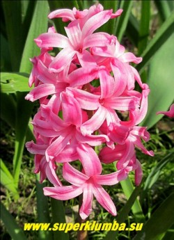 """Гиацинт восточный """"АННА МАРИ"""" (Hyacinthus orientalis """" Anna Marie"""") , бруснично- розовый с более темной полосой по лепесткам, высота 10-12 см, цветет  май, ЦЕНА 100 руб (1шт)"""