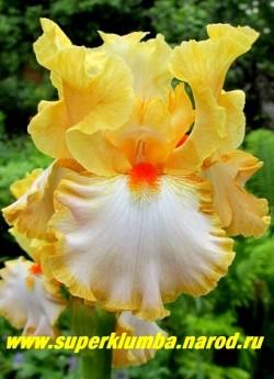 Ирис ШЭМПЕЙН ВОЛС (Iris Champagne Waltz) гофрированные абрикосово-желтые верхние лепестки, нижние более светлые с абрикосово-желтой каймой, бородка оранжево-красная. Награды: НМ-96, АМ-98. Среднего срока цветения. НОВИНКА! ЦЕНА 350 руб