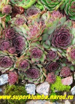 МОЛОДИЛО №17 зелено-голубое с вишневыми кончиками, крупные розетки диаметром 7-10см. НЕТ В ПРОДАЖЕ