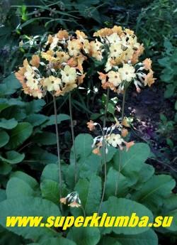 ПРИМУЛА ФЛОРИНДЫ (Primula f florindae x waltonii) редкий гибрид видовой примулы с оранжевыми бутонами и лимонно-кремовыми цветами на высоких до 30см цветоносах, цветет июль-август.  Ароматная! РЕДКОЕ! ЦЕНА 300 руб (штука)