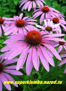 Эхинацея ПУРПУРНАЯ (Echinacea purpurea) цветы крупным планом, все эхинацеи желательно омолаживать делением куста каждые 3-4 года. ЦЕНА 250 руб (делёнка)