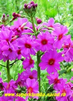 """Примула японская """"СВЕКОЛЬНАЯ"""" (Primula japonica) высота до 30 см, цветы собраны в многоярусное соцветие (5-7 ярусов), цветет июнь-июль, ЦЕНА 170 руб (штука)"""