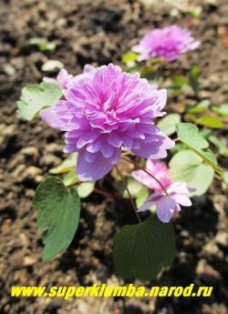 """АНЕМОНЕЛЛА ВАСИЛИСТНИКОВАЯ """"Оскар Шоаф"""" (Anemonella thalictroides """"Oscar Schoaf"""") редкое изящное, долгоцветущее весеннее растение. Цветет с мая- июль . Цветы густомахровые, сиренево-розовые диаметром 2,5 см, высота 12-15см, ЦЕНА 1500 руб (делёнка) . НЕТ НА ВЕСНУ"""