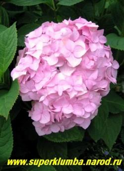 """ГОРТЕНЗИЯ САДОВАЯ """"РОЗОВАЯ"""" (Hydrangea macrophylla)  Сорт,  стабильно цветущий в условиях Подмосковья, шапки диаметром до 20см из крупных (2,5- 3 см ) розовых стерильных цветов, высота до 70 см, цветет с июля- октябрь, на зиму нуждается в таком же укрытии, как розы, так как цветет на прошлогодних побегах. ЦЕНА 400-1200 руб (цветущие  3-6 лет. кусты)"""