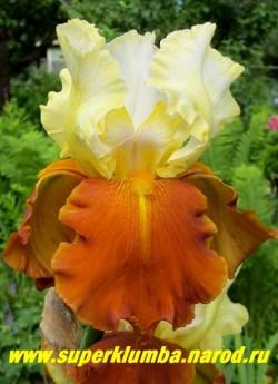 Ирис ФОЛ ФИЕСТА (Iris Fall Fiesta) светло-золотистые верхние лепестки и янтарно-оранжевые нижние,бородка желтая, с темно-желтыми прожилками под ней. Гофрированный. Награды: НМ-94. Средне-позднего срока цветения. НОВИНКА!  ЦЕНА 300 руб НЕТ В ПРОДАЖЕ