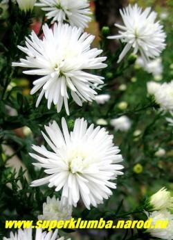 """АСТРА НОВО-БЕЛЬГИЙСКАЯ """"Мон Блан"""" (Aster novi-belgii """"Mont Blanc"""")  цветы крупным планом, цветы в роспуске немного розовеют , астры высаживают на солнечных, открытых, не сырых местах. Почву предпочитают плодородную, но мирятся и с более бедной. ЦЕНА 180 руб  (1 делёнка)"""