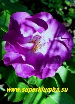 """РОЗА  """"РАПСОДИ ИН БЛЮ""""  (Rose """"Rhapsody In Blue""""). Флорибунда. Самая """"синяя"""" роза на  сегодняшний день.  Куст  прямостоячий , высотой до 120см с кистями  очень ароматных полумахровых лилово-фиолетовых цветков диаметром 6 см.  НОВИНКА ! НЕТ В ПРОДАЖЕ."""