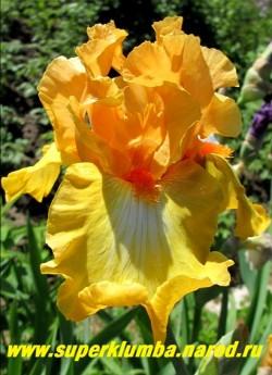 Ирис КРЭКЛИНГ КАЛДЕРА (Iris Crackling Caldera) сильногофрированный очень яркий, оранжевые стандарты и медно-желтые с оранжевым ободком фоллы с красной бородкой. Награды: HM -05, AM -07, WM -10. Среднего срока цветения. Высота 80 см. НОВИНКА!  ЦЕНА 400 руб  НЕТ В ПРОДАЖЕ