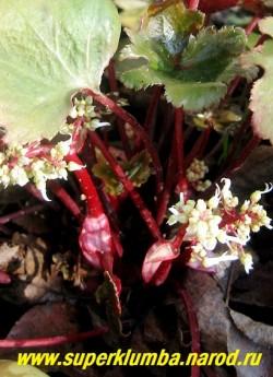 """""""Рубрифолия"""" (Saxifraga cortusifolia """"Rubrifolia"""")  Цветет в сентябре ажурными соцветиями из белых цветов на малиновых цветоносах. ЦЕНА 250 руб (делёнка)"""