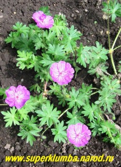 """ГЕРАНЬ КРОВАВО- КРАСНАЯ """"Вижн вайолет"""" (Geranium sanguineum """"Vision  violet"""") сорт с крупными (диаметр цветка 3,5 см) фиолетово-розовыми цветами. Кустик низкий компактный, мелкая ажурная зимующая листва, цветет с середины июня до августа, высота кустика до 15 см, ЦЕНА 150 руб (1 шт.)"""
