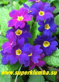 """Примула бесстебельная """"ХАМЕЛЕОН №5"""". Меняет цвет с пурпурно-малинового на сине-фиолетовый, высота 10 см, цветет апрель-май. ЦЕНА 250 руб (штука)"""