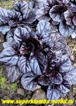 """ЖИВУЧКА ПОЛЗУЧАЯ """"Блэк Скэллоп"""" (Ajuga reptans """"Black Scallop"""") эффектные крупные плотные блестящие иссине-черные листья , формируют аккуратные компактные кусты , очень красивая живучка. Цветет в конце мая -начале июня сине-фиолетовыми цветами,  ЦЕНА 150-200 руб (делёнка)"""
