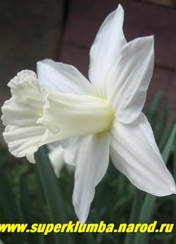 """Нарцисс """"БИРШЕБА"""" (Narcissus """"Beersheba"""") трубчатый. Известный, но редкий теперь в садах сорт, датированный 1923г. Безупречная классика с молочно-белым околоцветником и изящной длинной узкой трубкой ему в тон, аромат слабый, высота 35-40 см, среднего срока цветения. ЦЕНА 150 руб (3 шт)"""