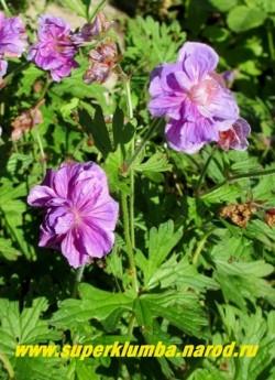 """ГЕРАНЬ ГИМАЛАЙСКАЯ """"БИЧ ДАБЛ"""" (Geranium himalayense """"Birch Double"""") Сорт с крупными 4-6 см в диаметре махровыми фиолетовыми с легкой розовинкой цветами. Листья небольшие, когда увядают,становятся красноватыми. Цветет даже в тени. Высота растения 30см. Цветение июнь-август. НОВИНКА! ЦЕНА 300 руб (1 дел)"""