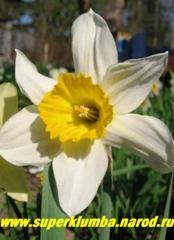 """Нарцисс """"МИССИС ЛЭНГТРИ"""" (Narcissus """"Mrs. Langtry"""") очень редкий старинный сорт, датированный 1869г. Сорт назван в честь знаменитой английской актисы, красавицы Лили Лэнгтри. Цветы очень крупные диаметр до 11 см, с характерно изогнутыми лепестками цвета слоновой кости и ярко-желтой коронкой, ранний, ароматный, неприхотливый. Высота 50 см, ЦЕНА 70 руб (1 лук)"""