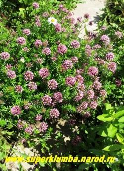 ФУОПСИС ДЛИННОСТОЛБИКОВЫЙ (Phuopsis stylosa) многолетнее растение разрастающееся пышным ковром. Высота 15-20 см. Листья мелкие ароматные. Цветет длительно с  июля по август/сентбрь многочисленными розовыми соцветиями. НОВИНКА! ЦЕНА 250 руб НЕТ НА ВЕСНУ