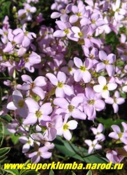 """АРАБИС КАВКАЗСКИЙ """" Роза Белла"""" (Arabis caucasica """"Rosa Bella"""") розовые цветки собранные в соцветия кисти на стелющихся побегах с опушенной серо-зеленой листвой, высота 13-20см, цветет очень обильно в мае-июне. ЦЕНА 150-200 руб  (1 дел)"""