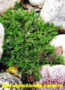 КОТУЛА ШЕРОХОВАТАЯ (Сotula squalida) ползучее растение, образующее плотные низкие коврики, листья перисторассеченные темно-зеленые, на солнце медно-коричневые, нуждается в хорошем дренаже. Высота 5 см, ЦЕНА 150 руб (1деленка)