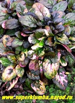 """ЖИВУЧКА ПОЛЗУЧАЯ """"Мультиколор"""" (Ajuga reptans """"Multicolor"""") необычная многоцветная живучка с темными красновато-коричневыми листьями лилового оттенка и неравномерно разбросанными по ним кремово-желтыми, розовыми, зеленоватыми пятнами. ЦЕНА 200 руб (делёнка)"""