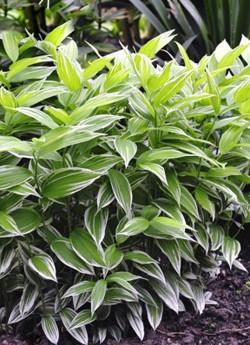 """ДИСПОРУМ СИДЯЧИЙ """"Вариегатум"""" (Disporum sessile """"Variegatum"""")  Декоративный многолетник с продолговатыми  светло-зелёными листьями, покрытыми белыми полосками с частично  белым   краем,  цветёт  в мае.  Цветы белые с зеленцой, узковоронковидные, по 1-3 в соцветии, напоминают цветы купены.   Высота 30-60см. НОВИНКА! ЦЕНА 350 руб (шт)"""