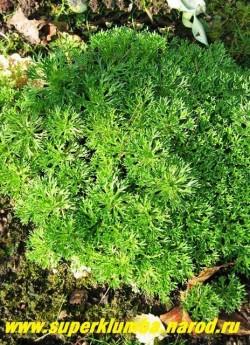 КАМНЕЛОМКА ТРЕХВИЛЬЧАТАЯ (Saxifraga trifurcata) Травянистое растение образующее подушку 5-7 см высотой. Листья сочные, светло-зеленые, сильно резные, 3-вильчатые на конце, с малиновыми черешками, собраны в крепкие розетки. Цветки на высоких, коричневатых цветоносах белые, 5-лепестные. НОВИНКА! ЦЕНА 150-200 руб (1дел )