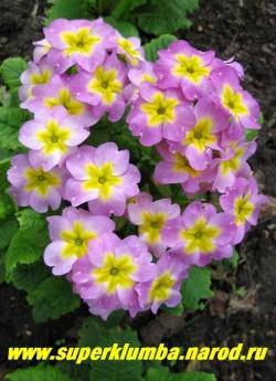 """Примула бесстебельна """"СИРЕНЕВО-РОЗОВАЯ""""   ПОЛУМИНИАТЮРА, хамелеон- в процессе цветения цвет менятся со светлых тонов на более яркие. подушковидная- высота до 10 см, цветет май-июнь, ЦЕНА 150 руб (штука)"""
