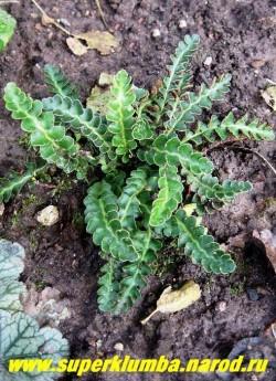СКРЕБНИЦА АПТЕЧНАЯ (Ceterach officinarum) очень красивый вечнозеленый миниатюрный папоротник с плотными кожистыми листьями на черных черешках, единственный сухолюбивый папортник, образует плотные заросли высотой 10-20 см, растет медленно. Красиво смотрится между камнями, на каменистых стенках, Не любит застоя влаги. Лекарственное растение.  НЕТ  В ПРОДАЖЕ