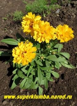 """КОРЕОПСИС КРУПНОЦВЕТКОВЫЙ """"Ранний Восход"""" (Coreopsis grandiflora """"Early Sunrise"""") низкий махровый кореопсис, диаметр цветка 5 см, цветет в июле, высота 30-40 см. НЕТ В ПРОДАЖЕ"""