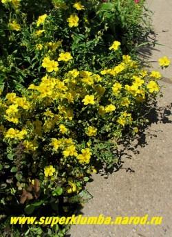 """ГЕЛИАНТЕМУМ или СОЛНЦЕЦВЕТ """"желтый"""" (Helianthemum х hybridum) карликовый полукустарничек обильноцветущий в июне-июле крупными желтыми цветами , диаметром 3-3,5 см., высота 15-20 см, не любит тени и застоя влаги. ЦЕНА 300-400 руб. (3-4 летки)"""