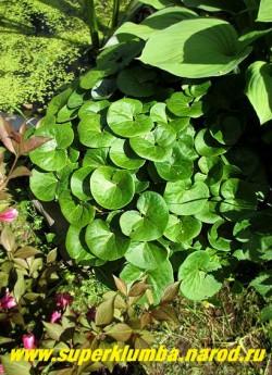 КОПЫТЕНЬ ЕВРОПЕЙСКИЙ (Asarum europaeum) вечнозеленое растение с красивыми округлыми кожистыми листьями, напоминающими след от копытца. Неприхотлив, морозоустойчив. Цветет в мае , высота 10-15см. Растет медленно, прекрасный почвопокровник для тенистых мест.  ЦЕНА 150 руб (1 дел)