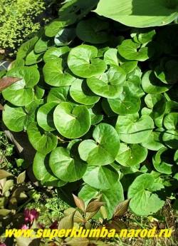 КОПЫТЕНЬ ЕВРОПЕЙСКИЙ (Asarum europaeum) вечнозеленое растение с красивыми округлыми кожистыми листьями, напоминающими след от копытца. Неприхотлив, морозоустойчив. Цветет в мае , высота 10-15см. Растет медленно, прекрасный почвопокровник для тенистых мест.  ЦЕНА 150-200 руб (1дел)