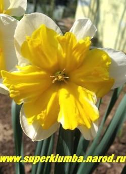 """Нарцисс """"ОРАНЖЕРИ"""" (Narcissus """"Orangery"""")  разрезнокорончатый. околоцветник слоновой кости и огромная желто-оранжевая сплиткорона, огромные цветы диаметром 9-10 см, высота до 40 см, среднепоздний.  НЕТ В ПРОДАЖЕ"""