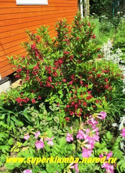 """ВЕЙГЕЛА ГИБРИДНАЯ """"Бристоль Руби"""" (Weigela hybrida """"Bristol Ruby"""") невысокий до 1,5 м кустарник с ярко-зеленой листвой обильно цветущий в июне-июле рубиново-красными с белыми тычинками колокольчатыми крупными цветками,  НЕТ  В ПРОДАЖЕ"""