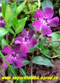 """БАРВИНОК МАЛЫЙ """"Атропурпуреа"""" (Vinca minor atropurpurea) Пурпурно-фиолетовые бархатистые цветы, вечнозеленый, как и все барвинки, высота 10-15 см, цветет май-июнь, быстро образует плотный ковер. ЦЕНА 150-200  руб (делёнка)"""