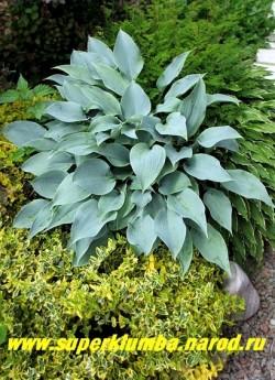 """Хоста БЛУ БЛАШ (Hosta """"Blue Blush"""") размер SM. Изящные плотные интенсивно голубые ланцетные листья. Цветы светло-сиреневые. Нарастает неспеша. Лучшее место посадки - тень, полутень. Одна из самых голубых хост. ЦЕНА 300 руб. (1 шт) или 600 руб ( кустик: 3 шт)"""