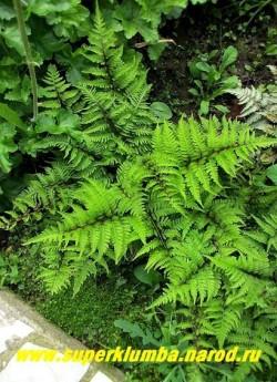 """КОЧЕДЫЖНИК ЯПОНСКИЙ """"Пиктум"""" (Athyrium niponicum """"Pictum"""") популярный сорт с зелеными листьями с пурпурно-красными жилками и стеблем. НОВИНКА! ЦЕНА 300 руб (1 дел)"""
