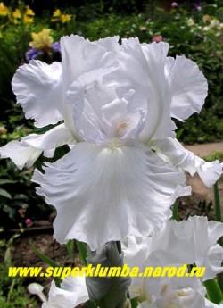 Ирис КЕСКЕЙД ВОТЕРЗ (Iris Cascade Waters) Крупные однотонные белые со стальным оттенком сильногофрированные цветы, бородка белая, высота 70 см, ЦЕНА 350 руб