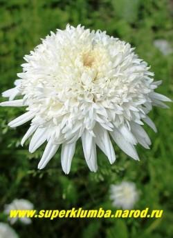 """ПИРЕТРУМ ГИБРИДНЫЙ """"Махровый белый"""" (Pyrethrum hybridum f. flore plena alba) цветок крупным планом.  ЦЕНА 450 руб (1шт) НЕТ НА ВЕСНУ"""