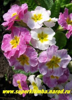 """Примула гибридная """"ХАМЕЛЕОН №4"""". На фото в полном роспуске, меняет цвет с белого на сиреневый, крупноцветковая, высота до 20 см, цветет апрель-май, ЦЕНА 250 руб (делёнка)"""