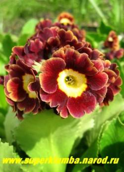 """Примула ушковая """"КОРИЧНЕВАЯ С ЗОЛОТОЙ КАЙМОЙ"""" (Primula аuricula) коричневая с золотой каймой по краю и желтой серединкой , с ароматом, высота до 15 см, цветет май-июнь, ЦЕНА 280 руб  (штука)"""