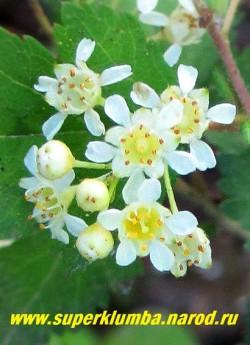 """СТЕФАНАНДРА НАДРЕЗАННОЛИСТНАЯ """"Криспа"""" (Stephanandra incisa """"Crispa"""") цветы крупным планом. Цветы белые, в кистях, с приятным запахом. ЦЕНА 250-350 руб ( 3-5 летки)"""