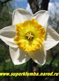 """Нарцисс """"САУНД""""? (Narcissus """"Sound"""") крупнокорончатый, белые лепестки околоцветника и крупная гофрированная желтая со светло оранжевым краем коронка, ранний , крупноцветковый, высота до 40 см , прекрасная срезка, ЦЕНА 150 руб (3 лук)"""