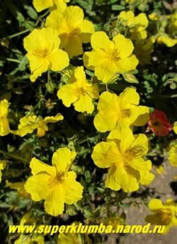 "ГЕЛИАНТЕМУМ или СОЛНЦЕЦВЕТ ""желтый"" (Helianthemum х hybridum) крупным планом.  ЦЕНА 300-400 руб. (3-4 летки)"