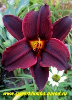 Лилейник БЛЭК ЭММАНУЭЛЬ (Hemerocallis Black Emmanuelle) Пурпурно-черный, самая темная окраска из всех известных сортов. Диаметр цветка 12-13 см. Высота до 75-100 см. Цветение в середине сезона. НОВИНКА!  ЦЕНА 300 руб (1 шт) НЕТ НА ВЕСНУ.