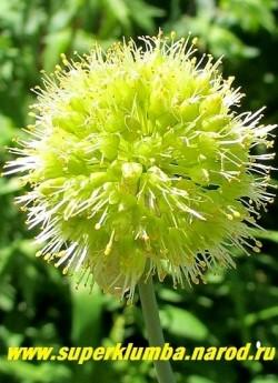 ЛУК КОСОЙ или ГОРНЫЙ ЧЕСНОК (Allium obliquum) съедобно-декоративнеый лук, реликтовое растение, зелень и луковицы используются издревле. Листья с чесночным привкусом. Цветет в июне желтыми головчатыми соцветиями 5-6 см в диаметре. НОВИНКА!  80 руб (1 лук)