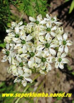 ЛУК ЧЕРНЫЙ или МНОГОЛУКОВИЧНЫЙ (Allium nigrum L. = Allium multibulbosum) Белые цветы с темнозелеными завязями сердцевинками собраны в крупные до 8 см соцветия на высоких (20-35 см) цветоносах. Соцветия ароматные и используются на срезку. Ланцетные листья имеют серо-зеленую окраску. Цветет в июне. НОВИНКА! НЕТ В ПРОДАЖЕ