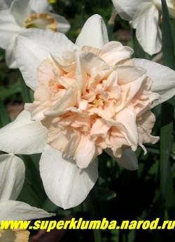 """Нарцисс """"РОЗИ КЛАУД"""" (Narcissus """"Rosy Cloud"""") Очень красивый нарцисс с махровой трубкой. Сорт очень похож на """"Петит фор"""". Отличие в более яркой розовой набивке короны и отсутствие так называемых """"рогов"""". Зато в наружной части из """"вазы"""" видны дополнительные бело-кремовые лепестки ввиде лодочек. Срок цветения среднепоздний.   НЕТ В ПРОДАЖЕ"""