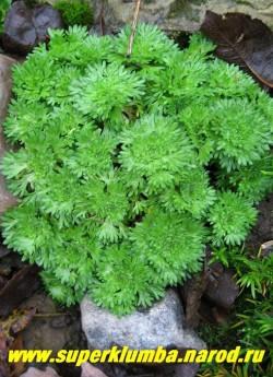 КАМНЕЛОМКА АРЕНДСА (Saxifraga x arendsii) на фото куртинка до цветения. Вечнозеленые резные розеточки очень декоративны и без цветов, разрастаясь куртинка держит красивую округлую форму, не превышая в высоту 5 см. Цветет в мае -июне ковром из белых, розовых или малиновых цветов.